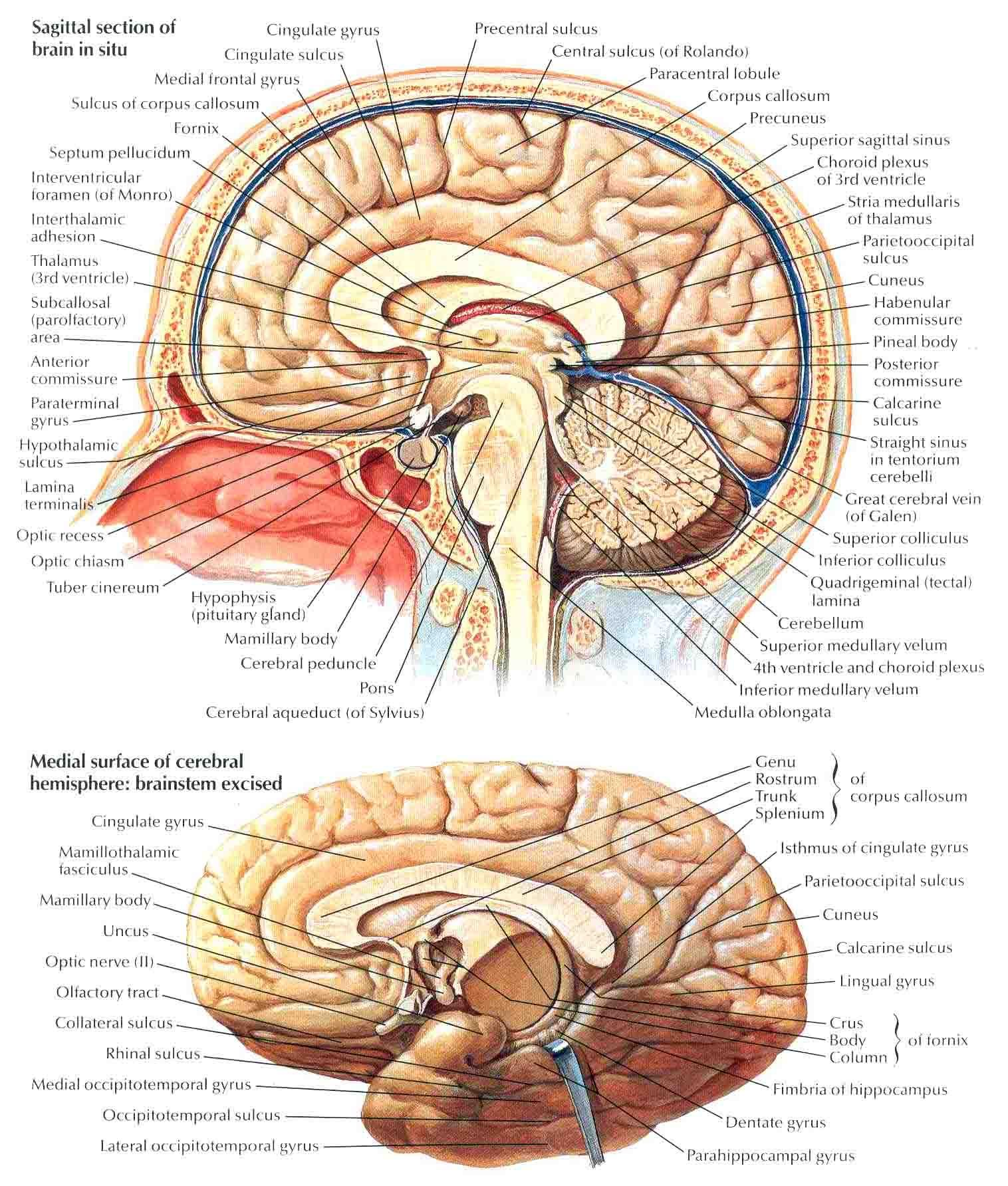 Brain Diagram Sagittal View Box And Whisker Explained Cerebrum Medial Jpg 15161784 Education Pinterest