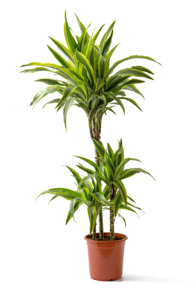 10 Low Light House Plants is part of Low light house plants, Indoor plants low light, Plant care houseplant, House plants, Low light plants, Indoor plants - The 9 BEST Low Light House Plants to grow in your home or office  They grow well in dark spots or under artificial lights  Also VERY easy to care for!