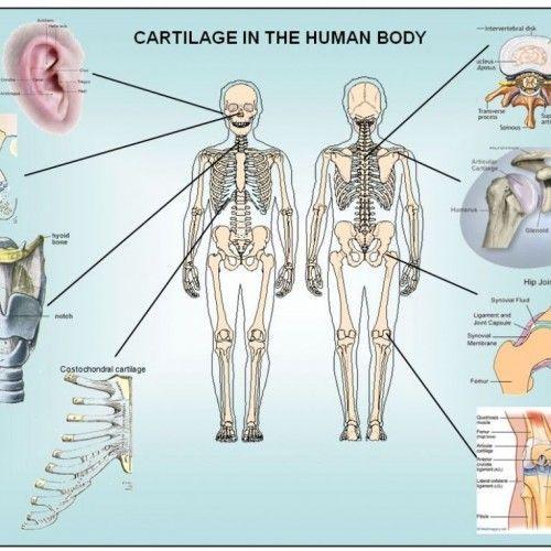 Human Body Tissues | Medical info | Pinterest | Body tissues, Human ...