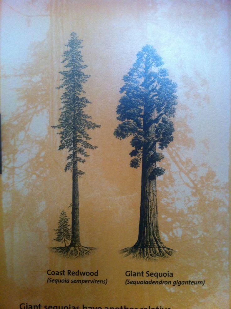 sequoia arm or ribcage left tree tattoos pinterest tattoo tatoos and redwood tattoo. Black Bedroom Furniture Sets. Home Design Ideas