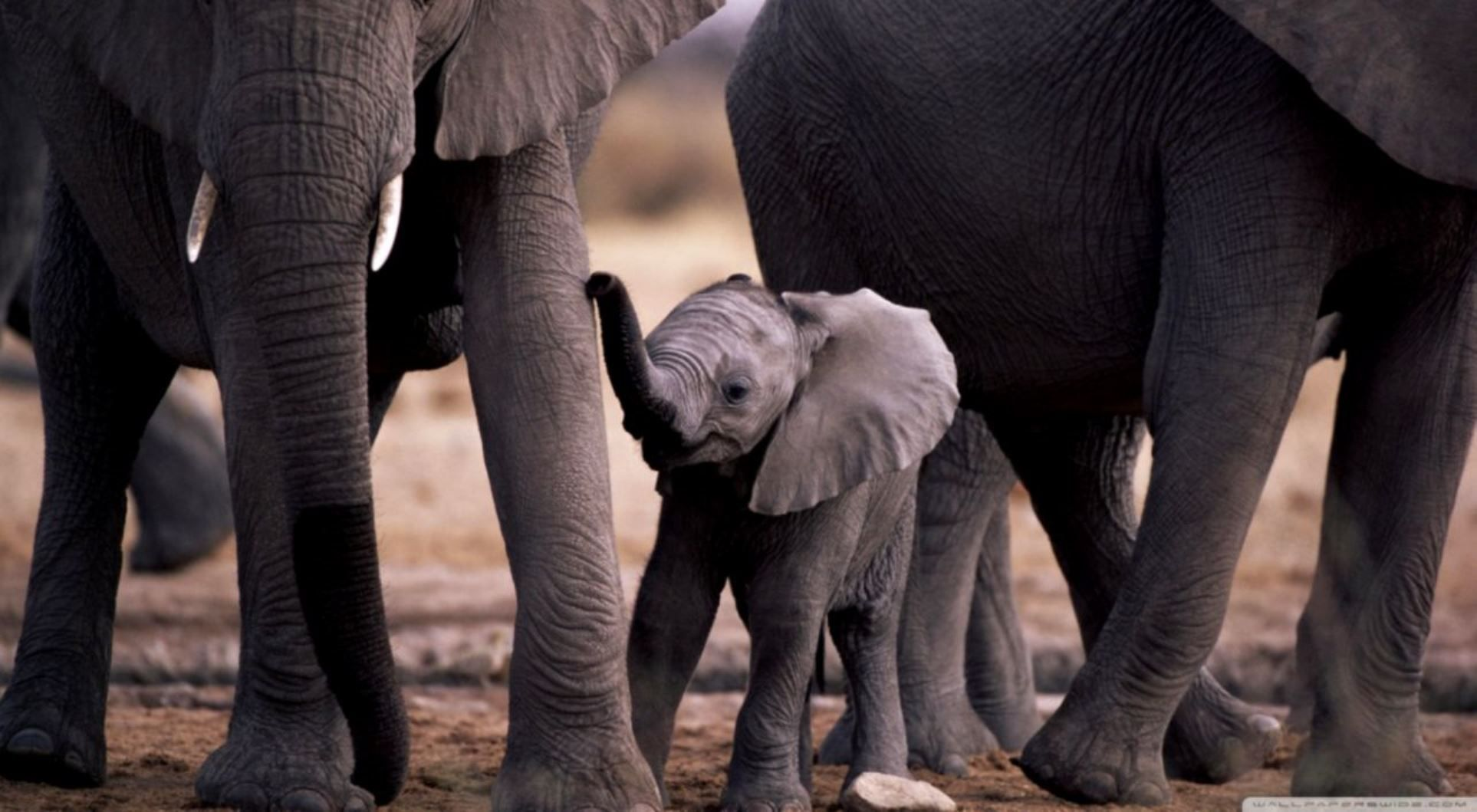 Pin By Terry Golden On My Elephant Keeper Collection Baby Elephant Elephant Cute Baby Elephant