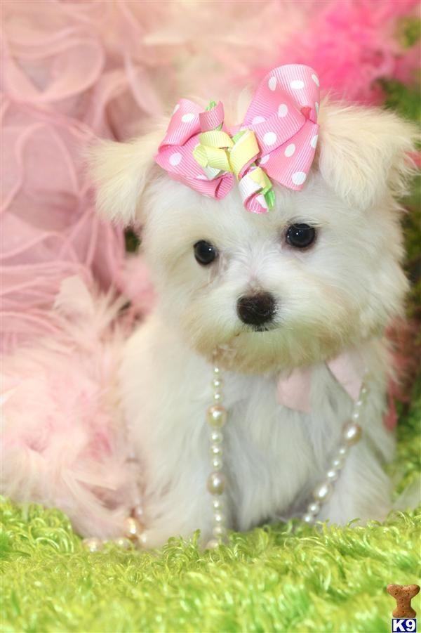 Maltese Puppies Maltese Puppies Cute Dogs Cute Puppies