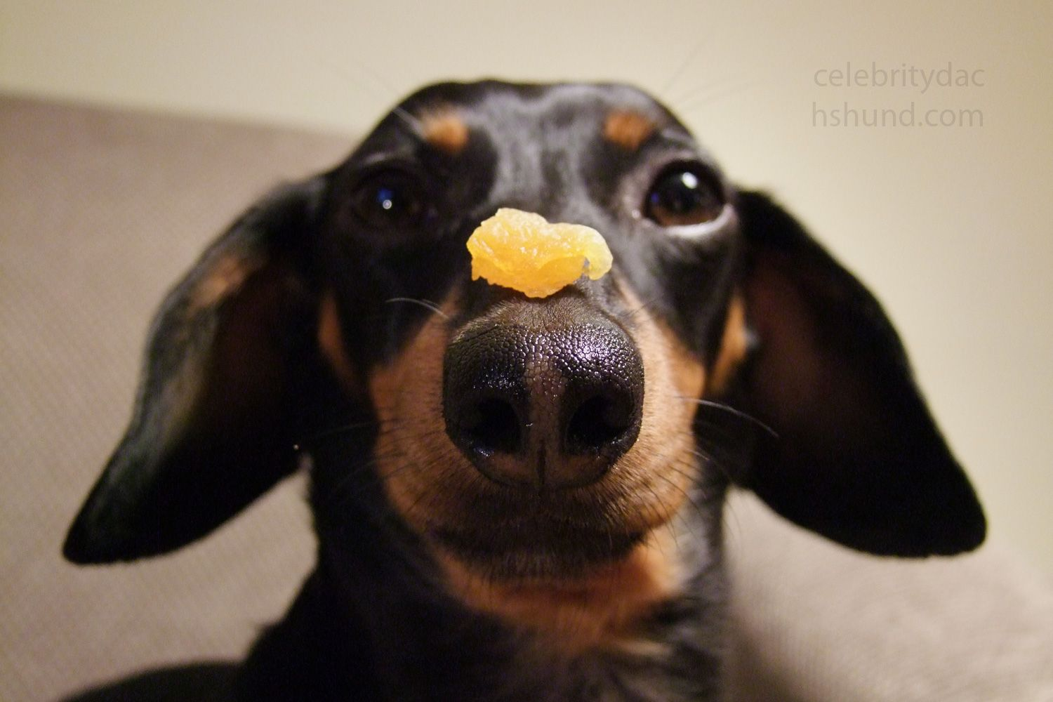 Pin By Crusoe The Celebrity Dachshund On Crusoe The