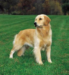Mini Golden Retriever Golden Retriever Top Dog Breeds Dogs Golden Retriever
