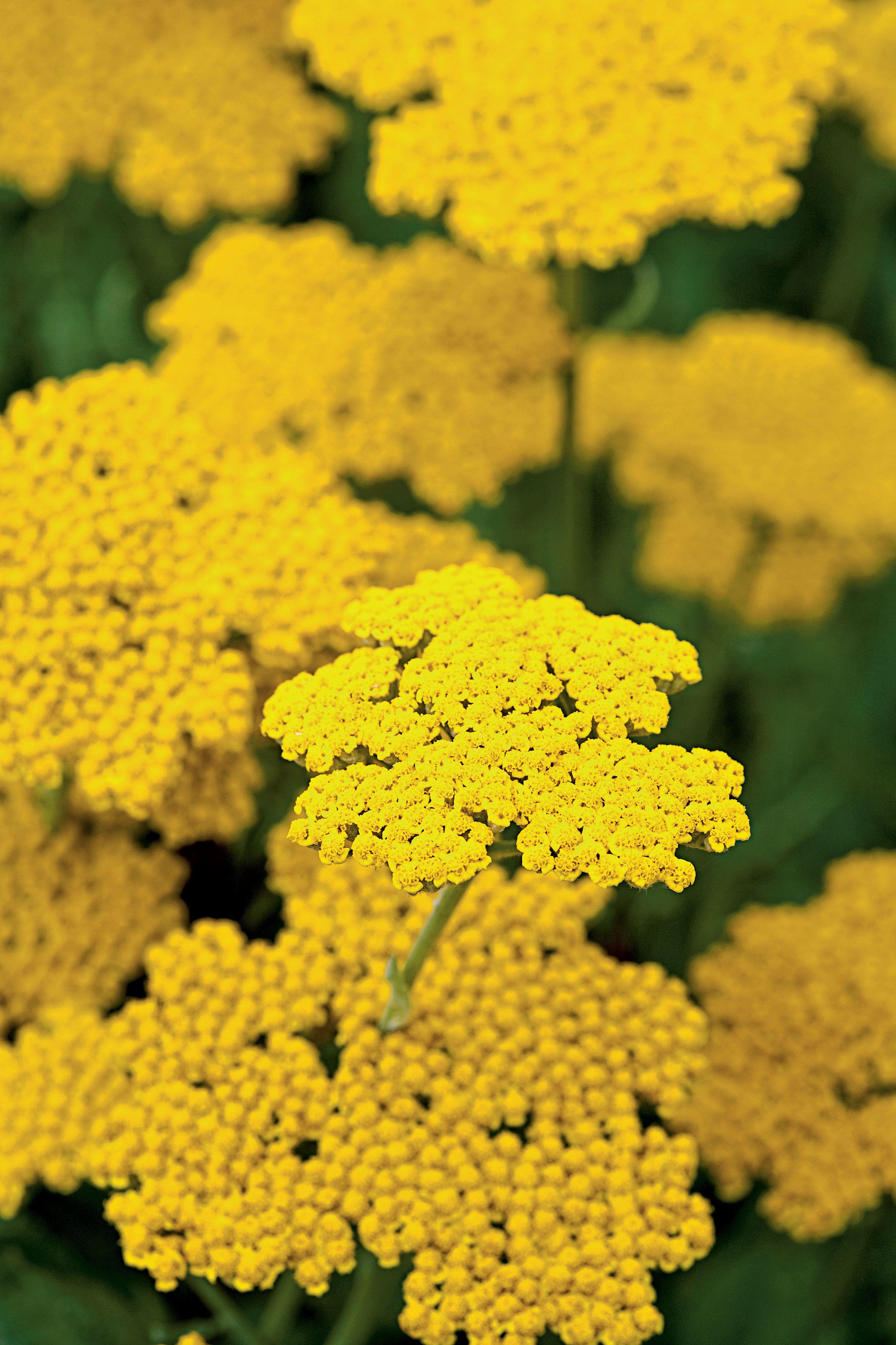 Flowering Perennials Shrubs Yarrow Davenport Landscape