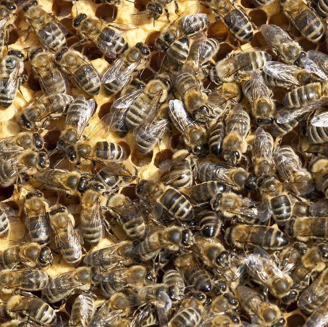 Begin Beekeeping - apiarist #beekeeping #bees #honeybees # ...