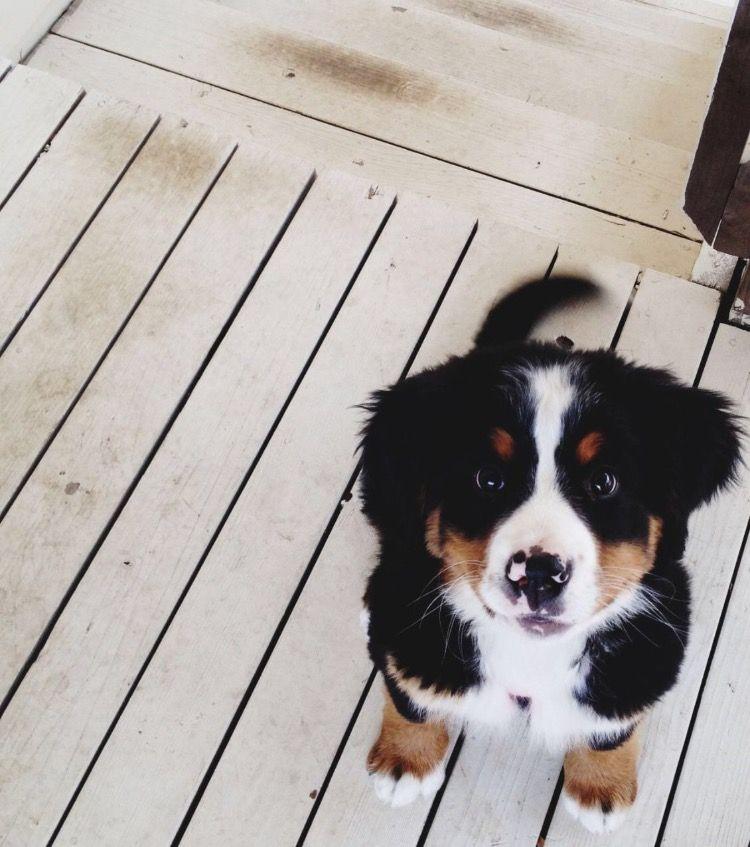 Black White And Brown Puppy Cute Puppy Doggo Cute Animals Cute Dogs Bernese Mountain Puppy