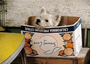 Westies Are The Besties Westie Puppies Westies Westie Terrier