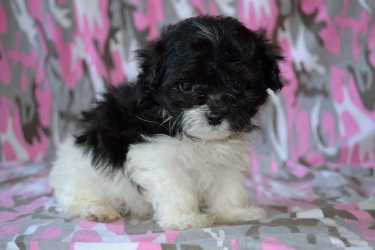 Maltipoo Puppies For Sale In Utah Pet For Sale Maltipoo