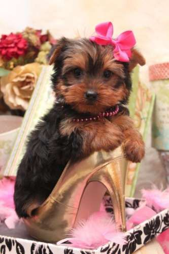 Teacup Yorkie love her get up!