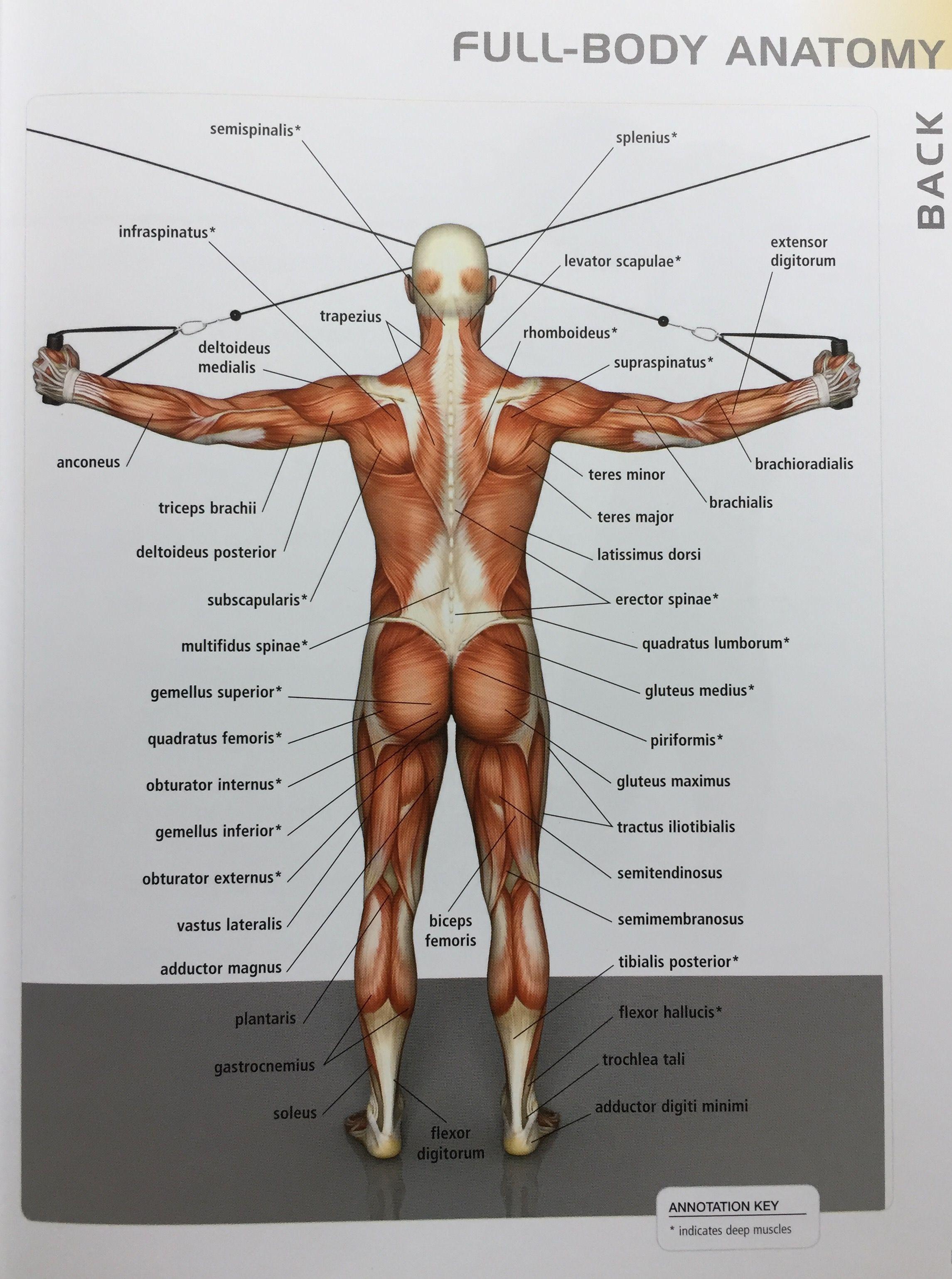 Pin von FITNESS MOTIVATOR auf Anatomy of chart | Pinterest