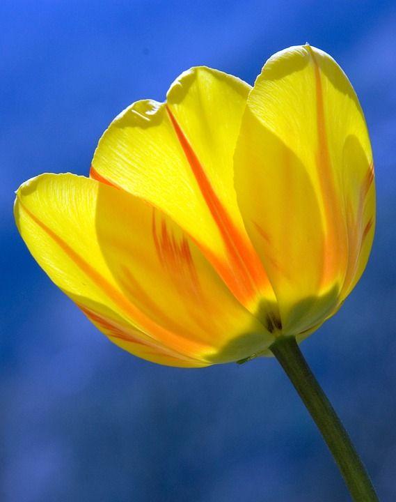 Tulipán, Amarillo, Primavera, Flores