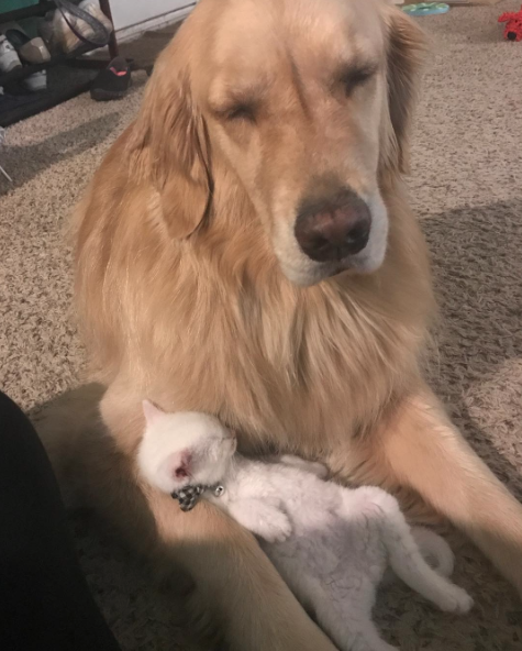 Mojito The Therapy Dog And Skywalker The Deaf Kitten