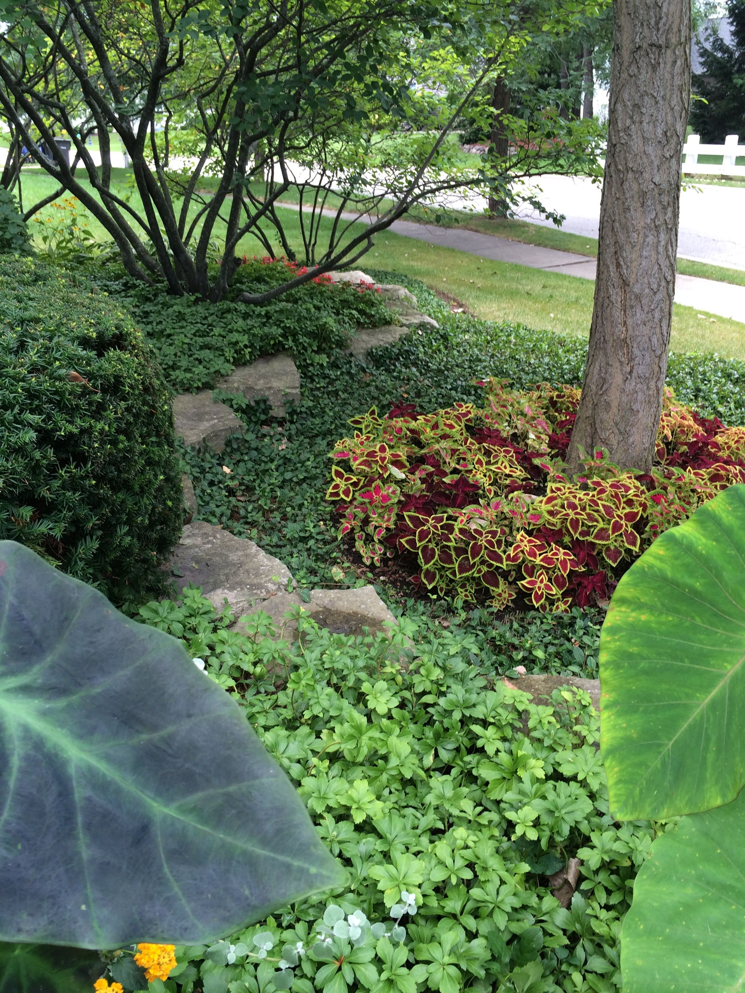 Coleus tree ring adds colorful interest under a gingko tree | HOME ...
