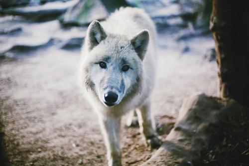 Pin by Sarah Burton on Natural Beauty Wolf art print