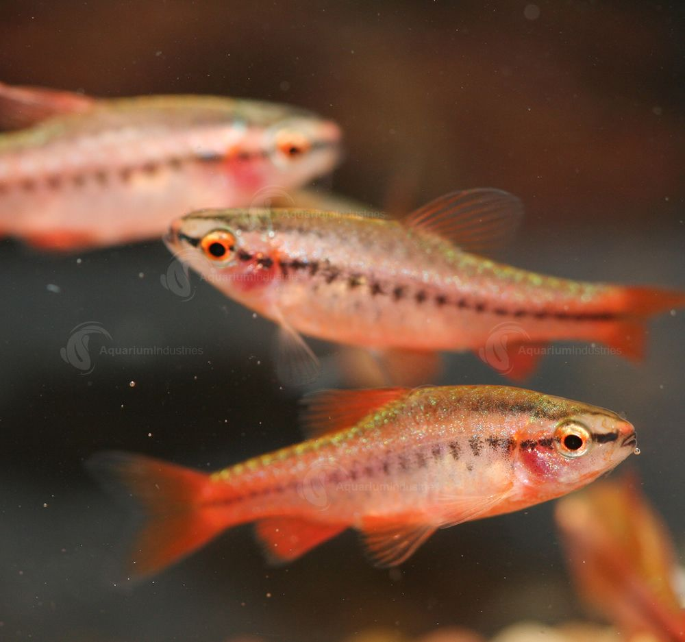 Cherry Barb This Pretty Community Fish Will Colour Brightly After You Settle It Into A Planted Tank An Freshwater Aquarium Fish Aquarium Fish Tropical Fish