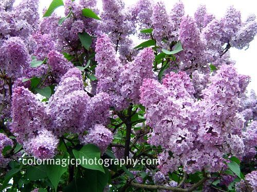 Summer Flowering Trees Their Large Panicles Of Flowers In All Shades Purple White