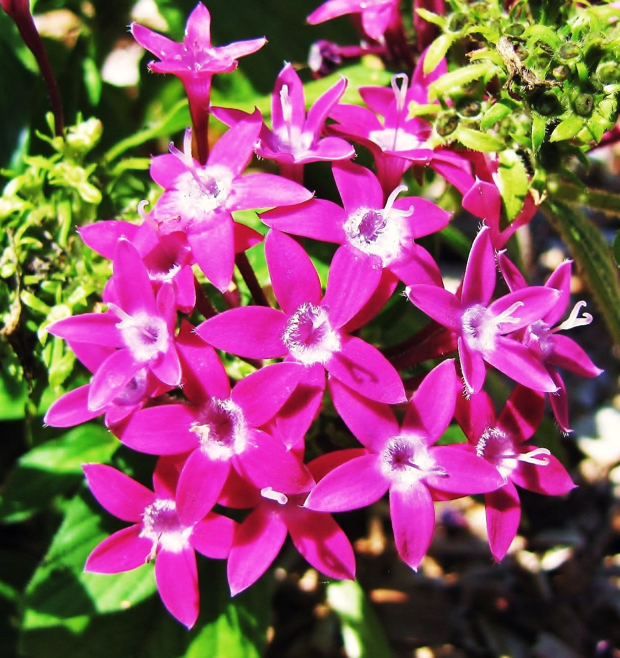 Penta S Star Flowers Fuchsia Florida Flowers Flowers Photo