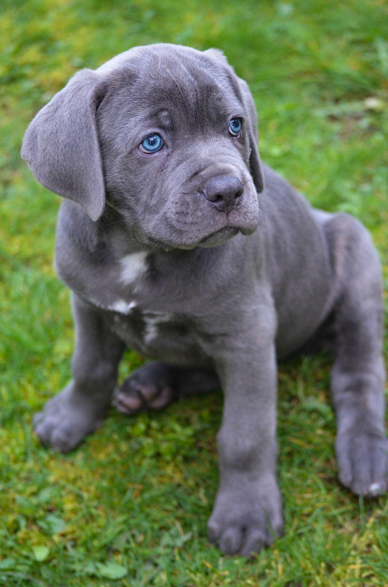 Pin On Cane Corso Pups