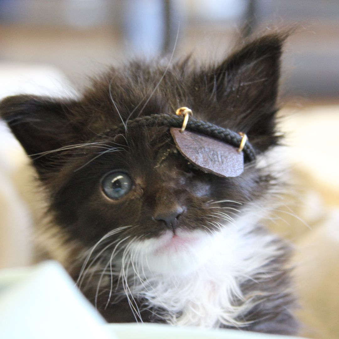 Rescue Kitten With A Missing Eye Covers His Scar With An Adorable Eye Patch Iheartcats Com Kitten Rescue Sick Kitten Tiny Kitten