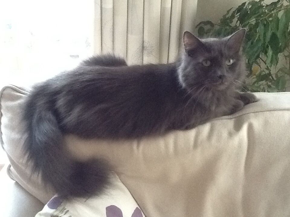 My Handsome Nebelung Russian Blue Cat Blue Cats Angora Cats