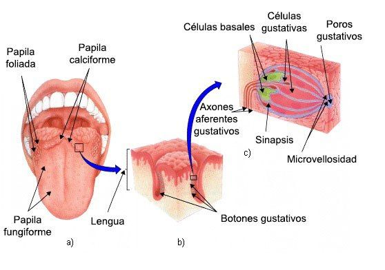 Psicobiología de los sentidos: el Gusto | Cerebro | Pinterest ...