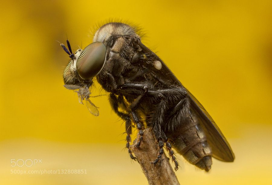 Robberfly by asherlwin. @go4fotos