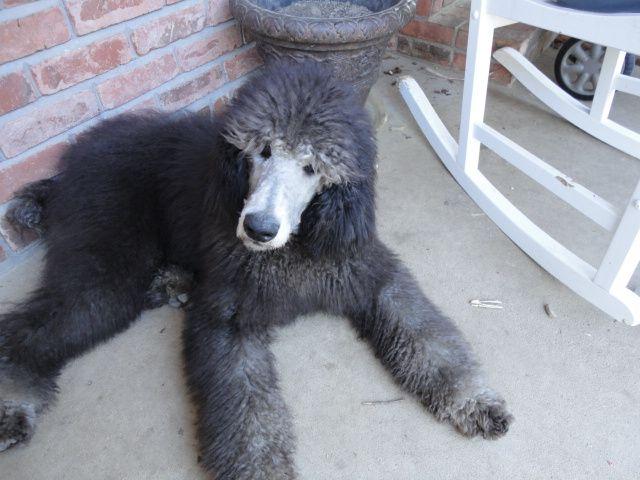 Silver Standard Poodle Jpg 640 480 Poodle Standard Poodle