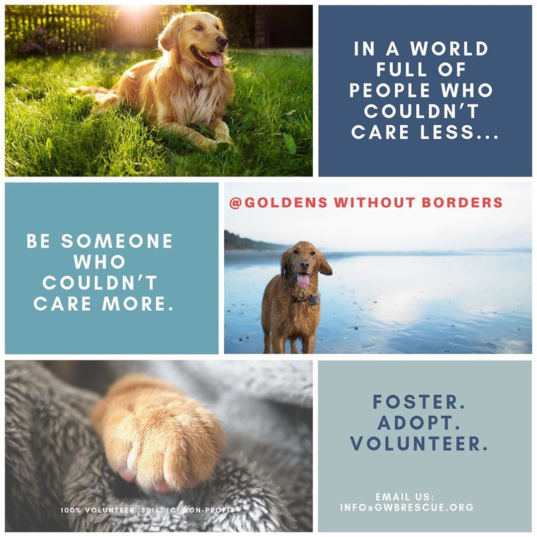 Goldens Without Borders Rescue On Instagram We Need Fosters