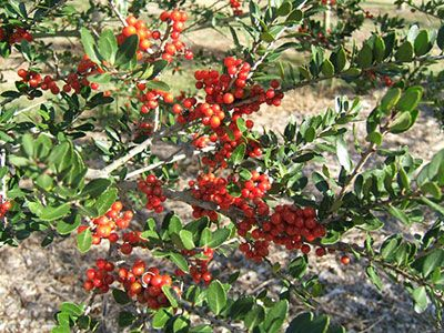 Yaupon hollies' dense and shrubby evergreen growth make them ideal for screens or hedges while also providing habitat for songbirds and other wildlife. The leaves contain the highest caffeine content of any plant native to North America.
