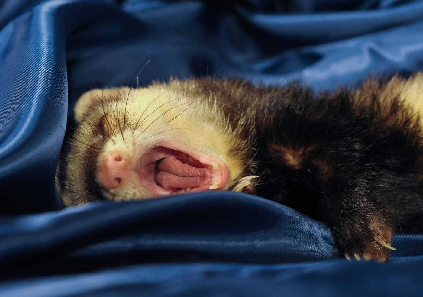 Facts On Ferrets Peta In 2020 Best Pets For Kids Pets Animals