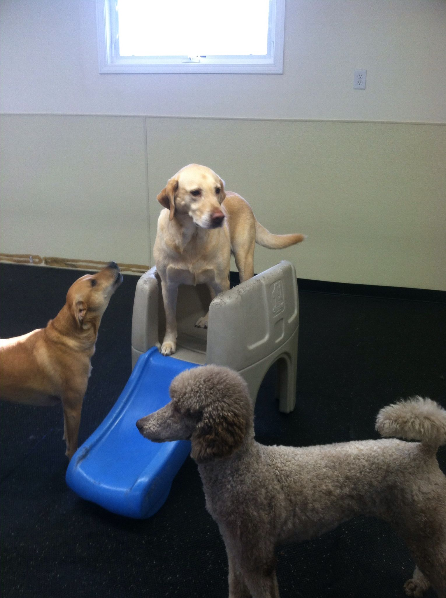 """""""Hurry up Sully! Go down the slide!"""" #MyTurn #DogGames #IndoorDaycare #FunTimes"""