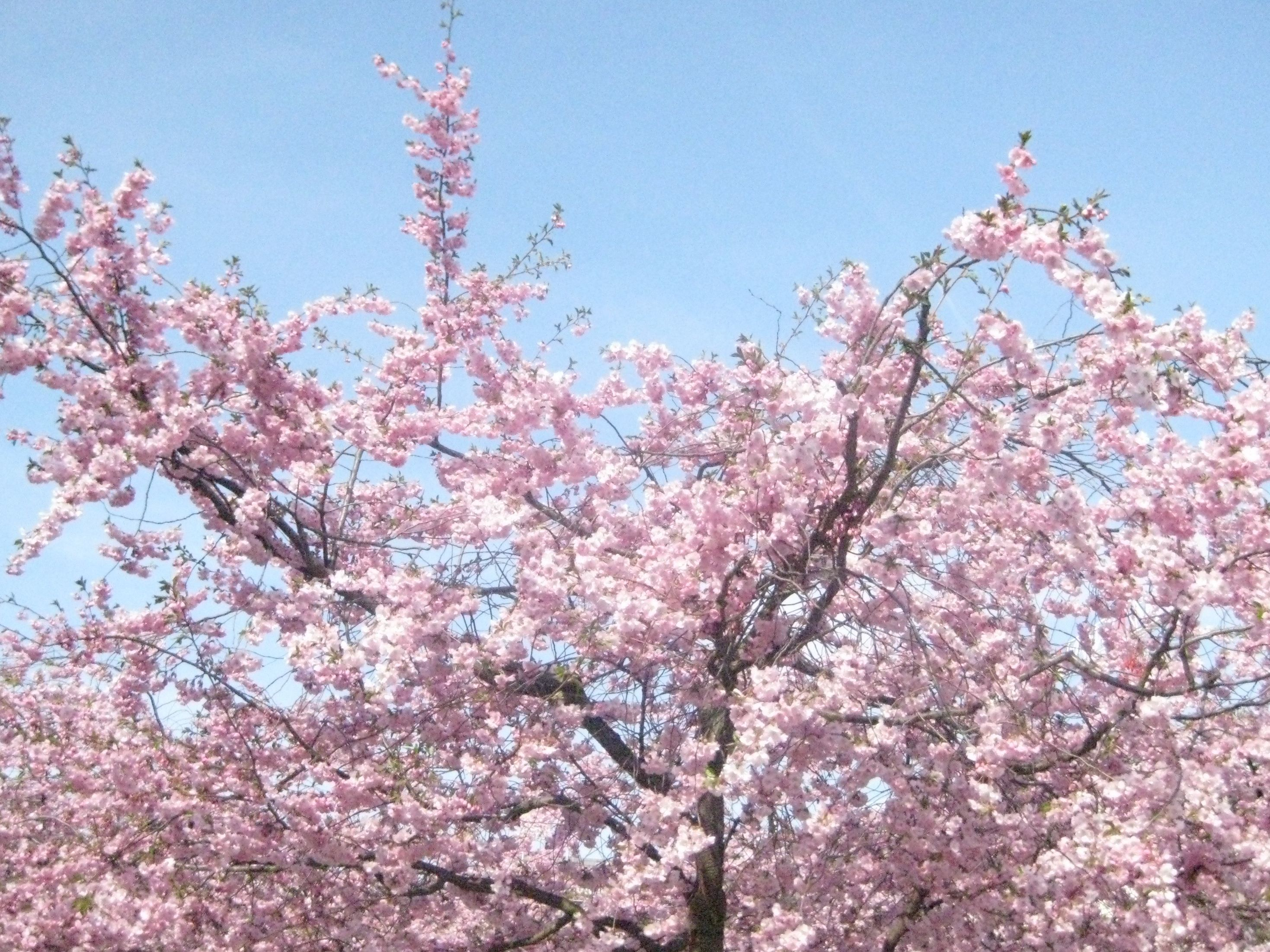 Cherry Blossom Happiness Yes Happiness Is A Cherry Blossom Tree In Full Bloom Cherry Blossom Tree Blossom Cherry Blossom