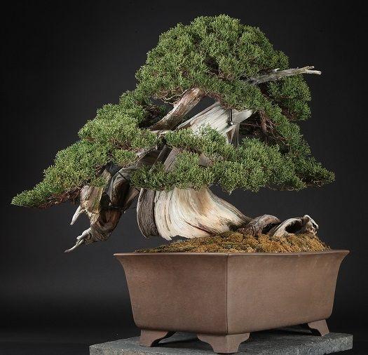 The Most Expensive Bonsai Tree Bonsai Tree Bonsai Tree Price