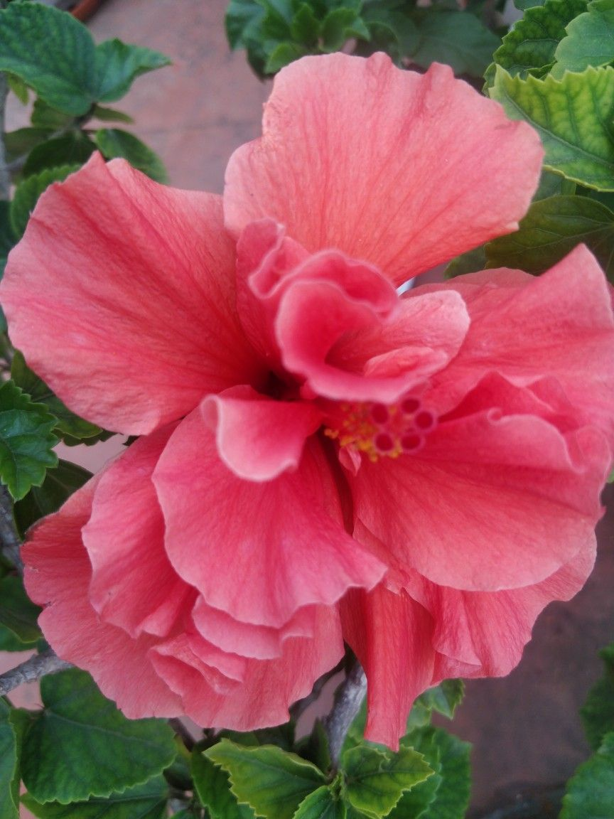 Hybrid Hibiscus Flower Hibisco Plantas De Sol Plantas