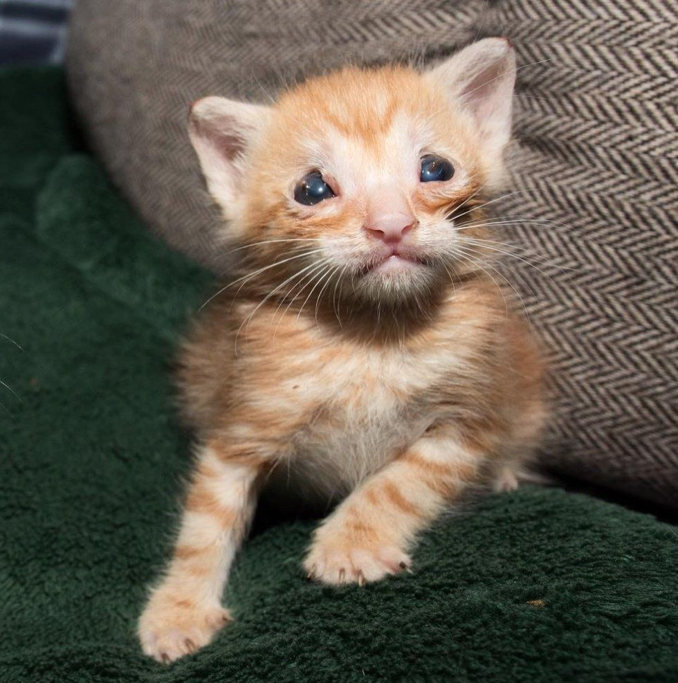 Kitten Who Was Born Without Eyelids And Couldn T Grow Never Gives