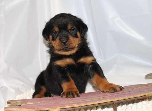 Baxter Rottweiler Adopt Rottweilers For Sale At Vip Puppies