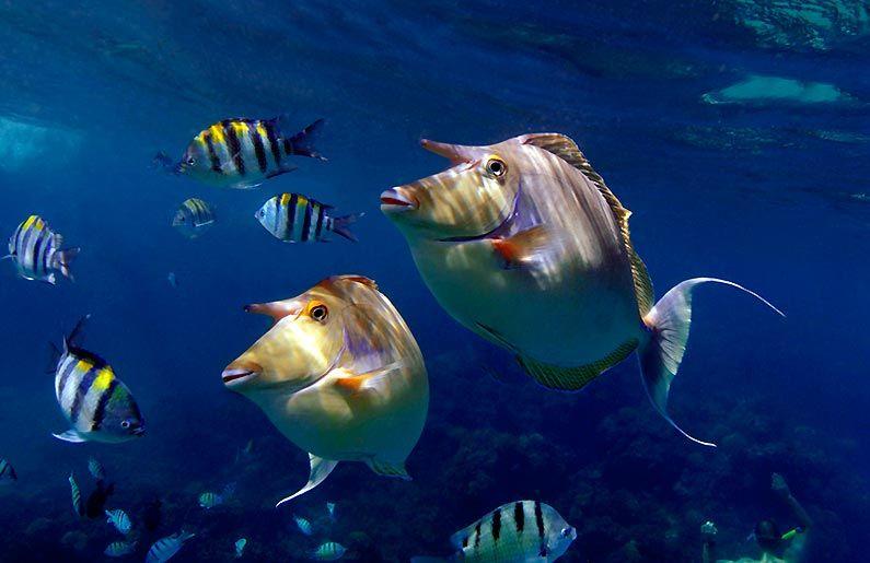 Unicorn Duo Hawaii Unicorn fish, Ocean creatures, Sea