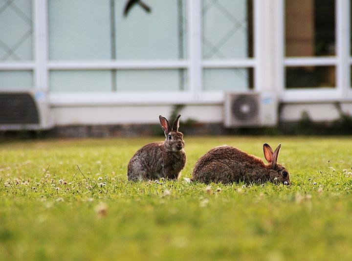Rabbits in 2020 | Rabbit, Rabbit garden, Old farmers almanac