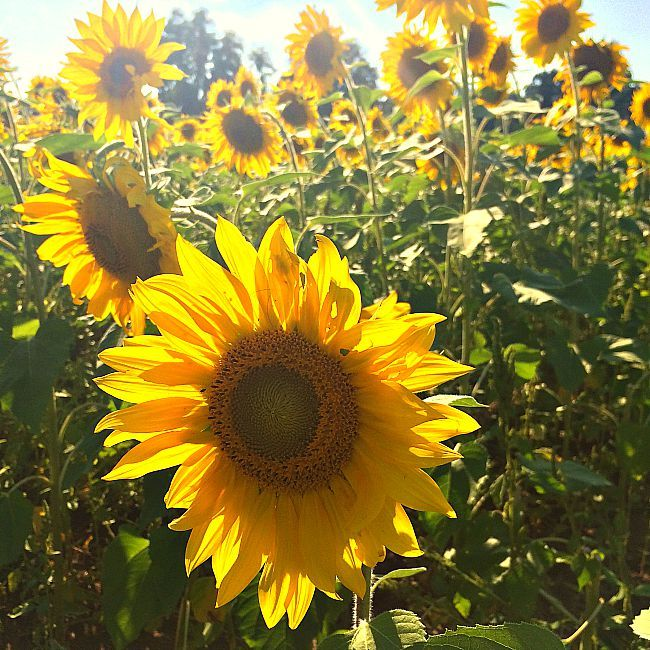 The 8 Best Places To See Sunflower Fields In Maryland And Northern Virginia Sunflower Fields Sunflower Pictures Places To See