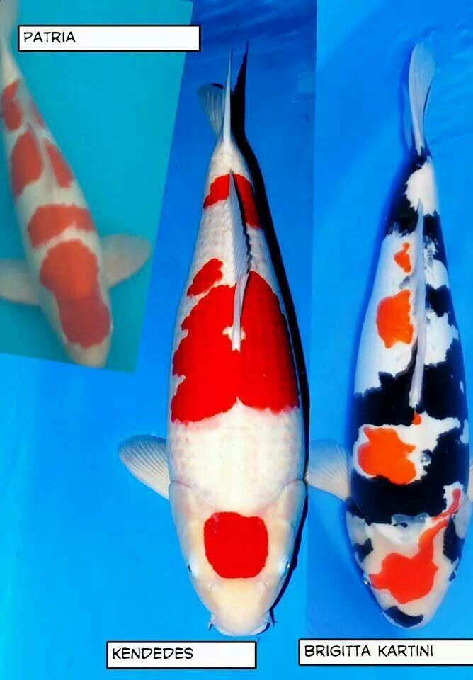 Champion Koi Ponds | Champion Koi Pond And Koi Fish Pinterest Champion And Koi