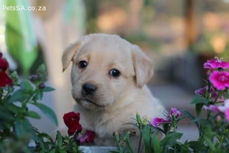 Labrador Retriever Puppies For Sale In Gauteng With Images