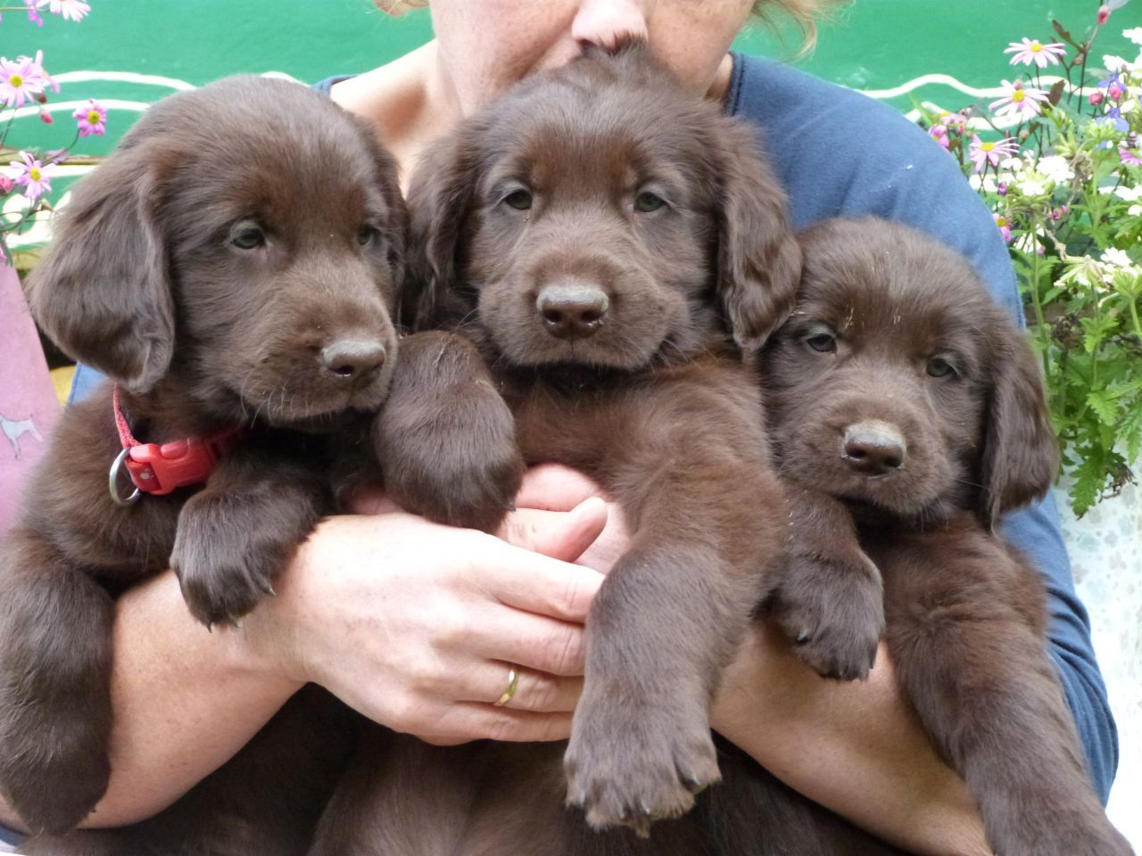 Liver male flatcoated Retriever puppies. Worcester