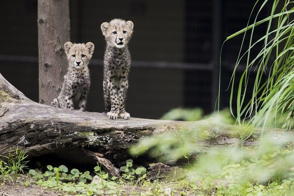 Two Cheetah Cubs Make Their Public Debut Animals