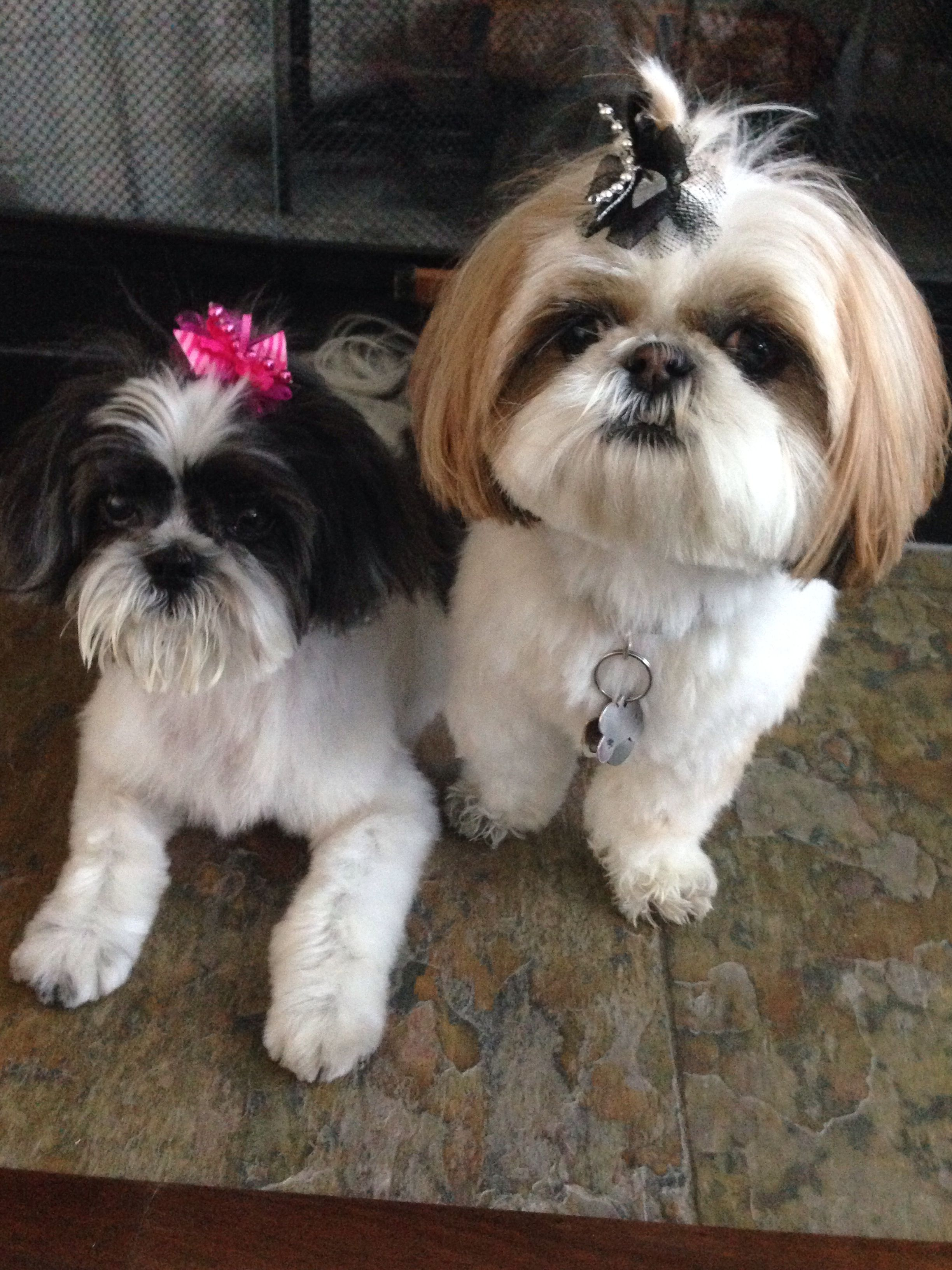 Pepper Chloe With Their Hair Bows Shih Tzu Dog Shitzu Dogs