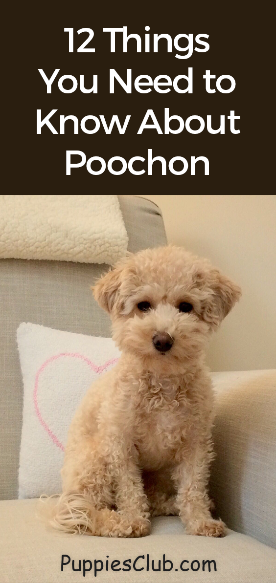 12 Amazing Things About Poochon Bichon Frise Poodle Mix Dog