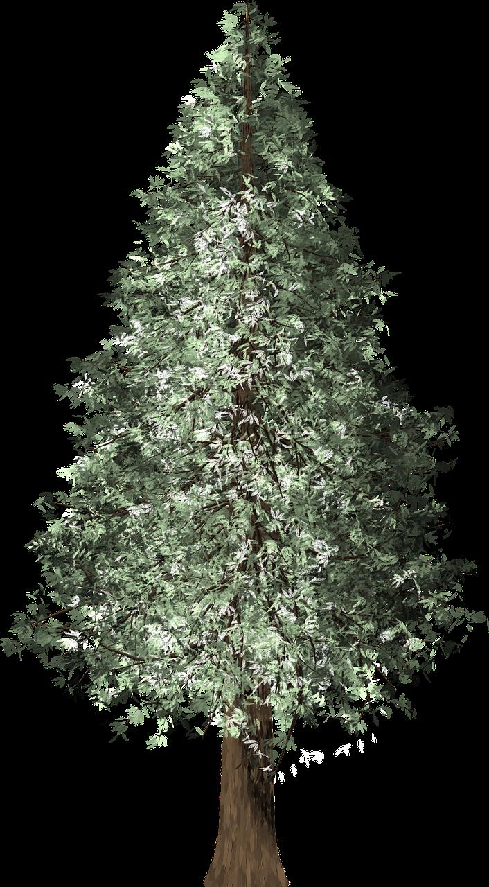 Free Image On Pixabay Redwood Tree Redwood Redwood Tree Xmas Tree Tree