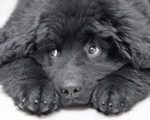 this is the cutist newfoundland puppy EVER!!