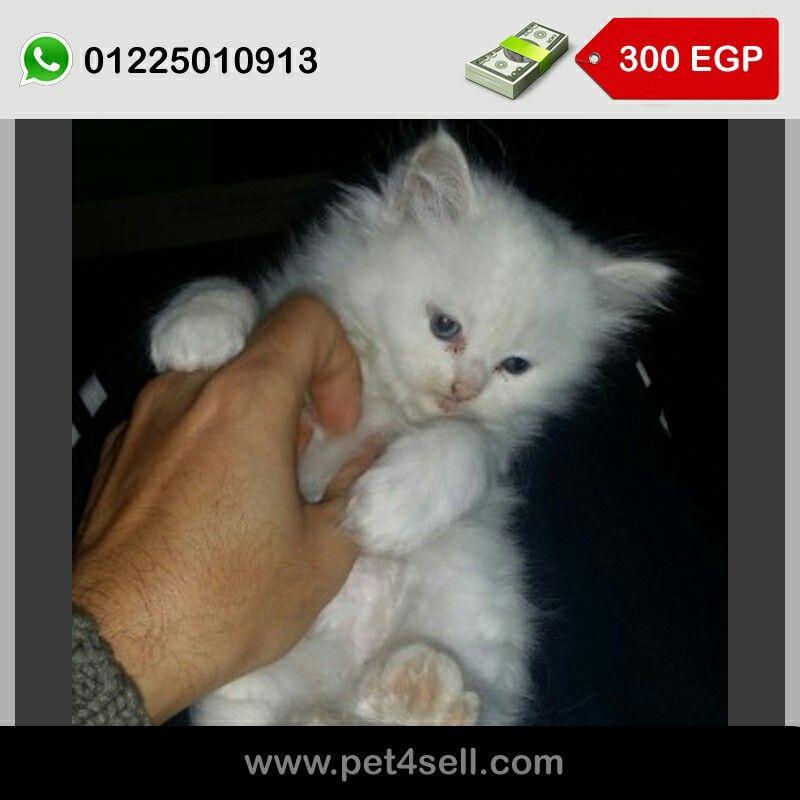 قطط شيراز للبيع لسة مفطومة وبتأكل اكل البيت ومرحة وشقية لمحبين القطط المرحة طنطا Pet4sell Cats Animals Egypt