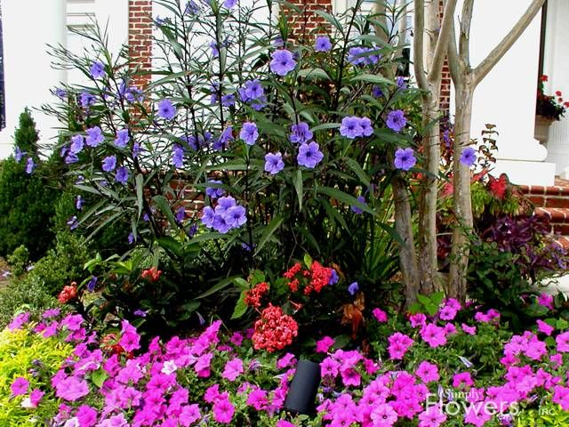 Mexican Petunia Ruellia Simplex Purple Showers And Petunia Diy Garden Landscape Plans Gnome Garden